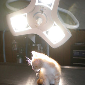 Kitten on Surgical Table showing off  AIM LED surgical procedure light